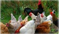 Recensement des poulettes